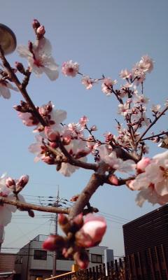 芦屋川桜祭